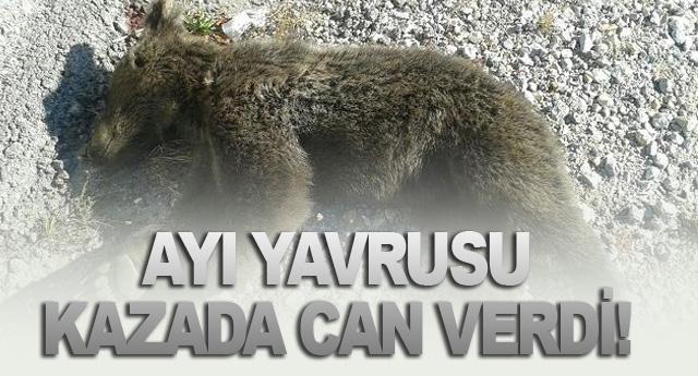 AYI YAVRUSU KAZADA CAN VERDİ!